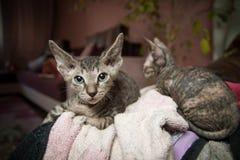 Gatti di razza dello sphynx Fotografia Stock