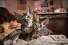 Gatti di razza dello sphynx Immagini Stock