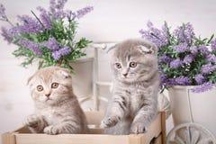 Gatti di razza pets Una coppia di gattini divertenti Fotografia Stock