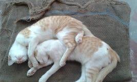 Gatti di sonno Fotografia Stock
