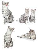 Gatti egiziani di Mau Immagini Stock
