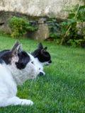 Gatti fissare fotografia stock libera da diritti