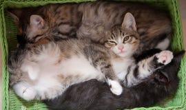 Gatti fortunati sonno Fotografia Stock Libera da Diritti