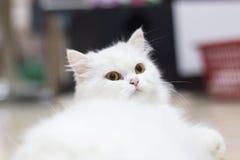 Gatti, gatti persiani Fotografia Stock