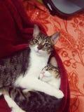 Gatti graziosi Fotografia Stock