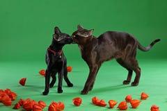 Gatti marroni e Shorthair orientale siamese nero Fotografie Stock