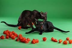 Gatti marroni e Shorthair orientale siamese nero Fotografia Stock Libera da Diritti