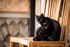 Gatti neri che si siedono sulla sedia di legno Immagine Stock Libera da Diritti