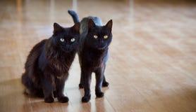 Gatti neri domestici Fotografia Stock Libera da Diritti