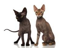 Gatti neri e marroni dei peli di scarsità Fotografia Stock Libera da Diritti