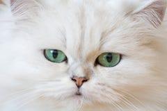 Gatti persiani bianchi Immagini Stock Libere da Diritti