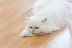 Gatti persiani bianchi Fotografia Stock