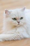 Gatti persiani bianchi Fotografie Stock