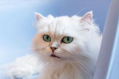 Gatti persiani bianchi Immagini Stock