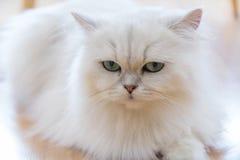 Gatti persiani bianchi Immagine Stock