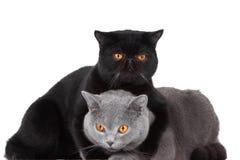 Gatti persiani blu e neri britannici Fotografia Stock