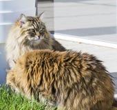 Gatti persiani nel giardino, marrone siberiano Immagine Stock
