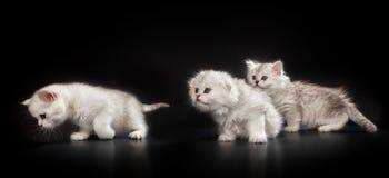 Gatti purulenti persiani bianchi Fotografie Stock Libere da Diritti
