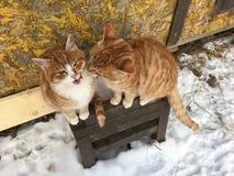 Gatti rossi svegli insieme Immagine Stock Libera da Diritti