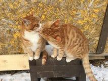 Gatti rossi svegli insieme fotografia stock