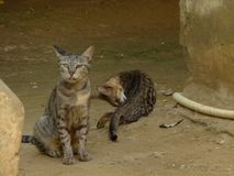 Gatti selvaggi o Immagine Stock Libera da Diritti