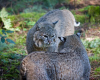 Gatti selvatici Fotografie Stock Libere da Diritti