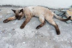 Gatti siamesi che dormono sul calcestruzzo Fotografia Stock