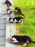 Gatti smarriti che mangiano cibo per gatti Immagine Stock Libera da Diritti