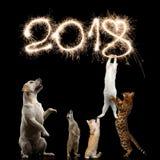 Gatti su fondo nero Fotografie Stock