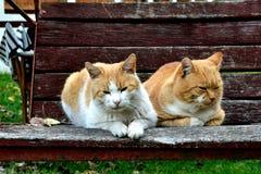 Gatti su oscillazione Fotografia Stock