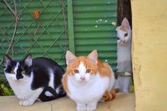 Gatti svegli Fotografia Stock