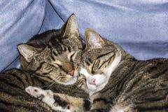 Gatti svegli che dormono su un sofà Fotografie Stock Libere da Diritti