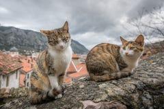Gatti svegli di Cattaro Fotografia Stock Libera da Diritti