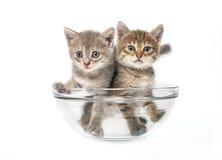 Gatti in un'insalatiera Fotografia Stock