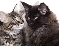 Gattini Fotografia Stock