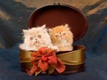 Gattini abbastanza persiani svegli in casella Fotografie Stock Libere da Diritti