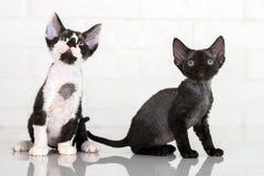 Gattini adorabili del rex del Devon Immagini Stock