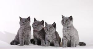Gattini britannici di Shorthair Fotografie Stock