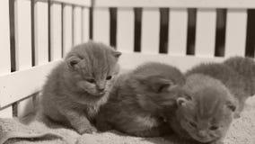 Gattini che giocano in una piccola iarda, recinto bianco di Britannici Shorthair dell'interno stock footage