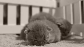 Gattini che giocano in una piccola iarda, recinto bianco di Britannici Shorthair dell'interno archivi video