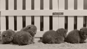 Gattini che giocano in una piccola iarda, recinto bianco di Britannici Shorthair dell'interno video d archivio