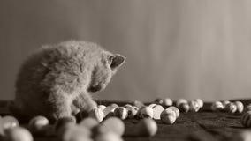 Gattini che mangiano alimento per animali domestici dal pavimento video d archivio
