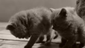 Gattini che mangiano alimento per animali domestici dal pavimento di legno archivi video