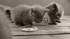 Gattini che mangiano alimento per animali domestici dal pavimento di legno video d archivio