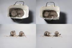 Gattini che mangiano alimento per animali domestici dal pavimento, multicam, schermo di griglia 2x2 Fotografie Stock