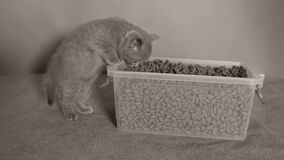 Gattini che mangiano alimento per animali domestici dalla scatola stock footage