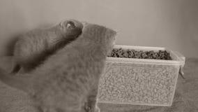 Gattini che mangiano alimento per animali domestici dalla scatola archivi video