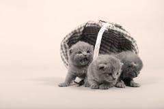 Gattini che restano in un canestro Fotografie Stock Libere da Diritti