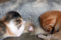 Gattini che si alimentano sul latte Fotografie Stock