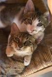 Gattini curiosi Fotografia Stock